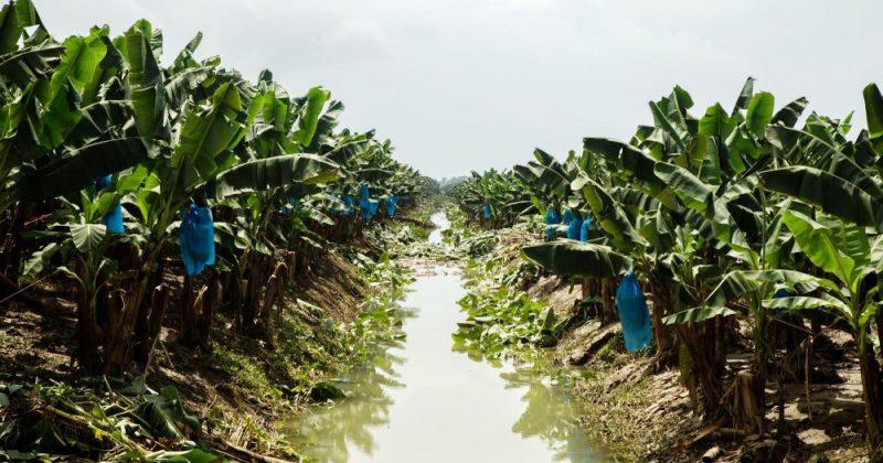 Daños por María superan el 50% cosechas banano